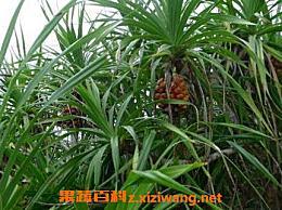 野生菠萝怎么吃最好 野生菠萝的药用价值