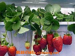 如何在阳台上种阳台 阳台草莓的种植方法技巧
