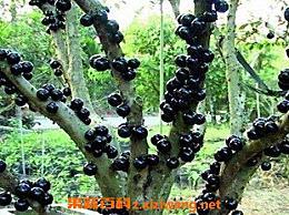 嘉宝果如何种 嘉宝果的种植方法