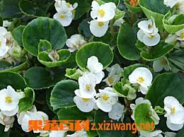 海棠的养生功效和贮存方法