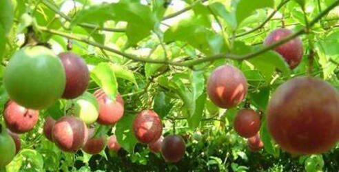 百香果的功效与作用 吃百香果有什么好处