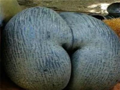 海椰子怎么样