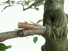 如何嫁接果树:不同品种果树采用不同嫁接法