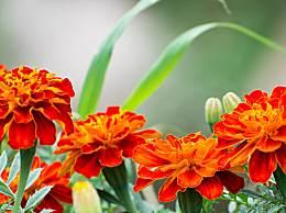 孔雀草有你哪些药用和保健作用?