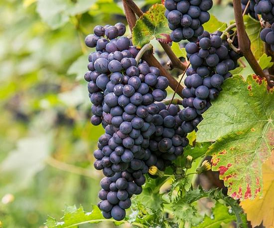 蓝莓不能和什么一起吃 蓝莓的食用禁忌(2)_四海