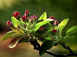 海棠花的介绍-海棠花的养护