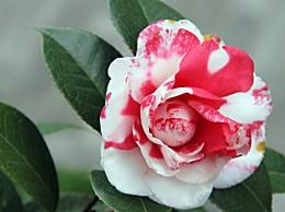 茶梅花期:花期长,色彩瑰丽,淡雅