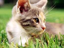 为什么猫有时会吃草