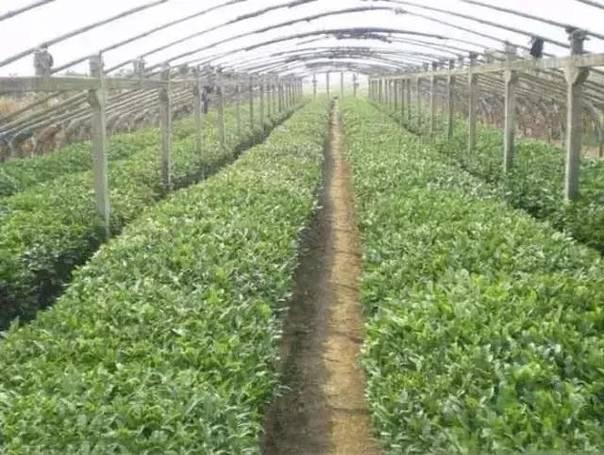 大棚栽培的茶树,一般可以提早10 曾有种植大棚茶的相关人士介绍,
