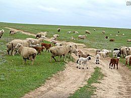 山羊价格多少钱一斤