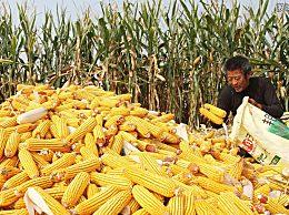 今日玉米价格行情