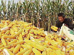 玉米价格最新行情