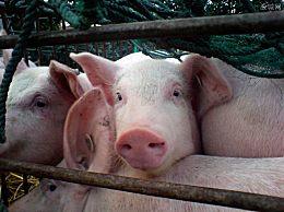 五月生猪价格预测