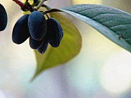 桂花果如何食用方法