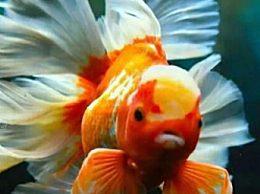 丹頂紅金魚怎么挑選