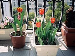 郁金香的养殖方法和注意事项:光照不足会造成植株生长不良