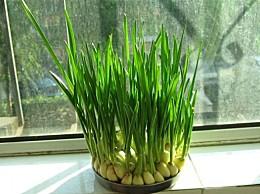 蒜苗怎养培养:水分、阳光、空气三者同时具备的即可