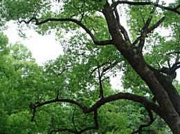 香樟树的资料:对香樟树的详细介绍