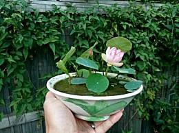 碗莲种子怎么种:碗莲喜肥喜阳光