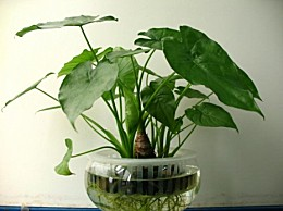 水培滴水观音:土栽改水培方法