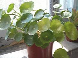 铜钱草叶子发黄:关于铜钱草叶子发黄的原因分析及解