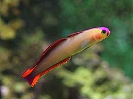 雷达鱼是什么 雷达鱼的体型特征