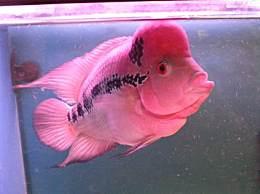 红运当头罗汉鱼是什么鱼 红运当头罗汉鱼能活多长时间