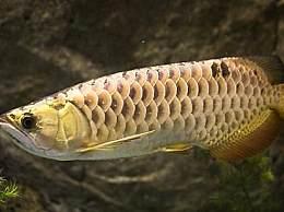 背金龙鱼是什么鱼 背金龙鱼有什么特征