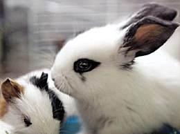 侏儒海棠兔的特征 侏儒海棠兔多少钱