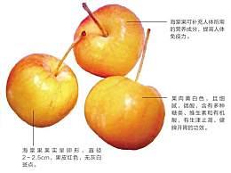 海棠果为什么会被称作
