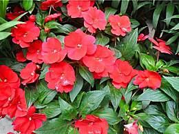 没想到这种花居然是著名中药,可以治疗九种小毛病!