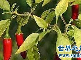 世界上最辣的辣椒排名前十 辣妹们看过去