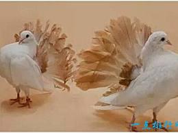 世界上最美丽的鸽子 有美丽的羽毛形状和华丽的羽毛颜色