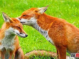 世界上最大的狐狸 红狐 分布范围广 毛色差异大