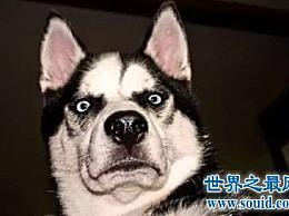什么是哈士奇小狗 可以成为一个受欢迎的狗品种