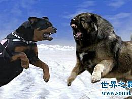世界上有很多种凶猛的狗 哪一种最可怕