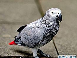 世界上最聪明的鹦鹉排行榜 能掌握150个单词 能做加法和减法