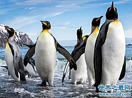 世界上最大的企鹅 体型高达两米
