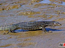 中国最大的蜥蜴:水巨蜥 最长3米 重30公斤(温和而干净)
