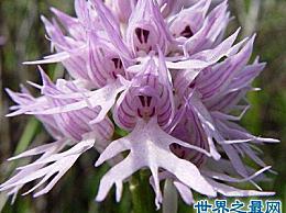 世界上最害羞的花――意大利红兰花