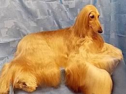 排名,世界十大最笨的狗 看看他的笨狗是否在名单上