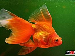 什么是最好的风水鱼?十大好看又有教养的风水鱼排名