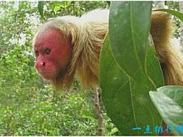 世界上最丑的猴子 秃头猴子 光着脸 头上没有头发