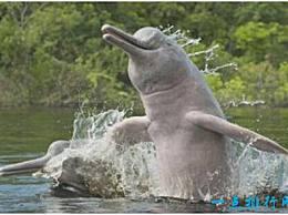 世界上最大的河豚 亚河豚有2.5米长 它的身体颜色会改变