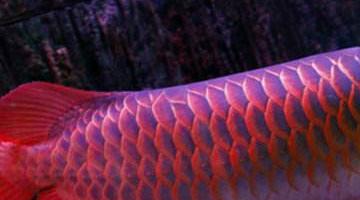 红龙鱼品种排行,红龙鱼的品种与区别
