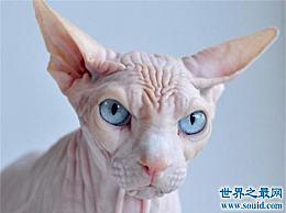 世界上最个性化的猫 加拿大无毛猫没有头发!