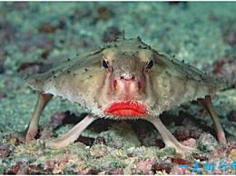 红唇鱼世界上 红唇蝙蝠鱼的嘴像口红一样明亮