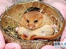 世界上最喜欢的睡眠老鼠每年冬眠大约9个月