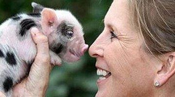 世界上最小的猪:印度小型猪体重不超过10磅 只有60厘米长