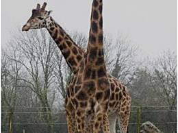 世界上最高的长颈鹿 将近6米高 因为太高而单身
